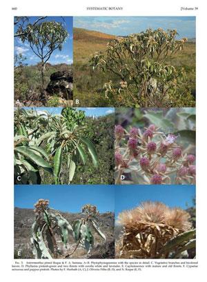 licinio-especie-planta-revista-americana-34